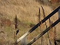 Starr-171214-0682-Aloe massawana-flowers-Honokanaia-Kahoolawe (26417355518).jpg