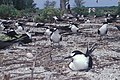 Starr-990518-0819-Verbesina encelioides-with sooty terns-Eastern Island-Midway Atoll (24231383740).jpg