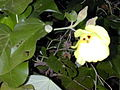 Starr 010206-0238 Hibiscus tiliaceus.jpg