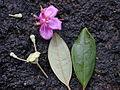 Starr 011205-0050 Rhodomyrtus tomentosa.jpg