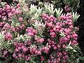 Starr 030419-0156 Leptecophylla tameiameiae.jpg