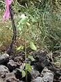 Starr 030424-0066 Hibiscus brackenridgei subsp. brackenridgei.jpg