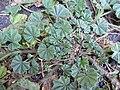 Starr 030523-0126 Malva parviflora.jpg
