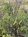 Starr 031108-2035 Ambrosia artemisiifolia.jpg