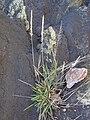 Starr 040711-0031 Sporobolus pyramidatus.jpg