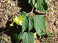Starr 070111-3325 Holmskioldia sanguinea.jpg