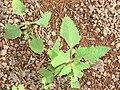 Starr 070208-4370 Sigesbeckia orientalis.jpg