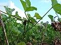 Starr 070302-4942 Malva parviflora.jpg