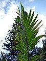 Starr 070306-5122 Encephalartos sp..jpg