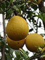 Starr 070313-5666 Citrus maxima.jpg