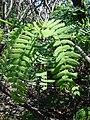 Starr 070404-6616 Prosopis juliflora.jpg
