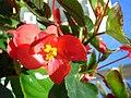 Starr 080103-1192 Begonia sp..jpg
