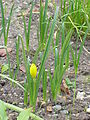 Sternbergia lutea1.jpg