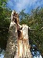 Storm damaged tree near Unity - geograph.org.uk - 1519416.jpg