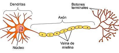 Vaina de mielina composicion