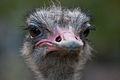 Struisvogel (3995468843).jpg