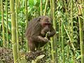 Stump tailed Macaque P1130751 19.jpg