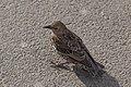 Sturnus vulgaris (Common Starling) - 20150801 17h08 (10637).jpg