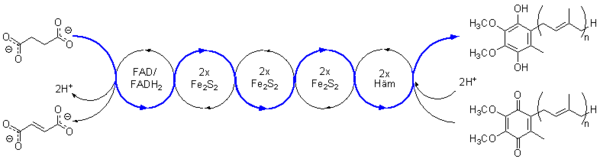 Redox-Kette der Succinat-Dehydrogenase