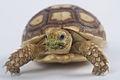 Sulcata Tortoise.jpg