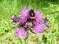 Sumpf-Kratzdiestel mit Insekten.jpg