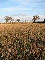 Sunflower field beside the path - geograph.org.uk - 1147580.jpg