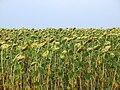 Sunflower field in Russia.JPG