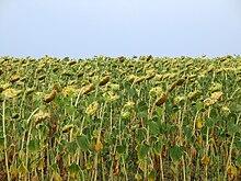 Самоопыляемые полевые культуры