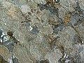 Sunken Disk Lichen (1253679224).jpg