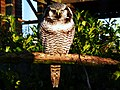 Surnia ulula -Blackbrook Zoo, Staffordshire, England-8a.jpg