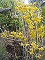Suvarnabhumi Orchids Farm IMG 20160322 080534 (27447082335).jpg