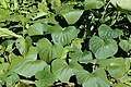 Sweet potatoes (leaves) J1.jpg