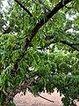 Swietenia macrophylla? 12.jpg