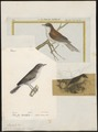 Sylvia curruca - 1700-1880 - Print - Iconographia Zoologica - Special Collections University of Amsterdam - UBA01 IZ16200153.tif
