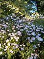Symphyotrichum novi-belgii Aster novi-belgii HabitusInflorescences BotGardBln0906.JPG
