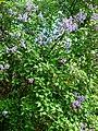 Syringa 2 (Poltava Botanical garden).jpg