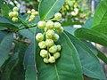 Syzygium aqueum buds 2.jpg