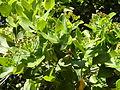 Syzygium cordatum, loof en bloeiwyses, a, Jan Celliers Park.jpg