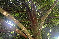 Syzygium malaccense 13zz.jpg