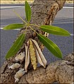 Tabebuia aurea Bark, Leave.jpg