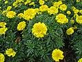 Tagetes patula 'Bonanza Yellow'1.jpg