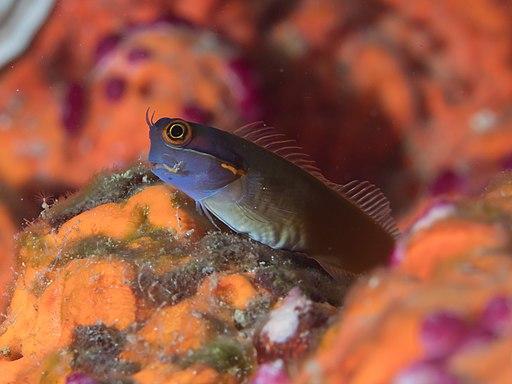 Tailspot coralblenny (Ecsenius stigmatura) (46722839061)