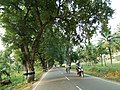 Tamarind trees along Gudiyattam road2.jpg
