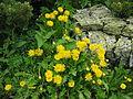 Taraxacum yatsugatakense 01.jpg