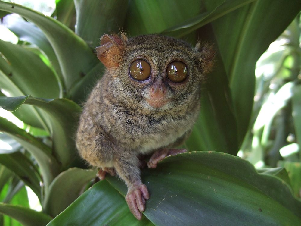 The average litter size of a Spectral tarsier is 1