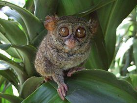 Tarsius tarsier Tandurusa zoo.JPG