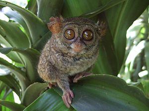 Spectral tarsier - Image: Tarsius tarsier Tandurusa zoo