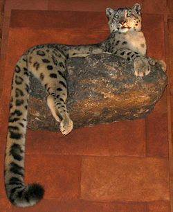 Taxidermied Snow leopard.jpg