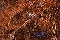 Taxodium distichum (Swamp Cypress) in Peter St Wagga Wagga (2).jpg