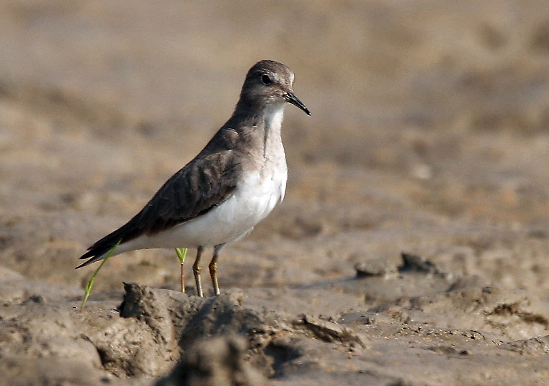 Temminck's Stint (Non- breeding plumage) I IMG 1444